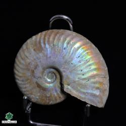 Ammonite nacrée naturelle